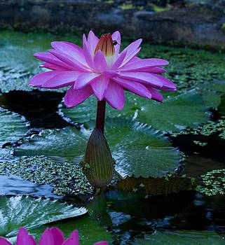 Water Lilly and Bee by Bonita Hensley