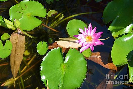 Water Lilly  by Bobby Mandal