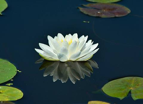 Water Lilly by Maryrose Pries
