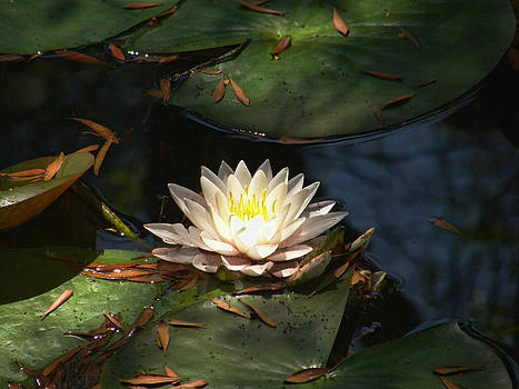 Water Lilly by Shannon Story