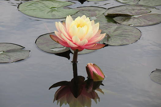 Water Lilly  by Tammie  Duggan