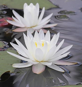 Water Lilies 2 by Cathy Lindsey