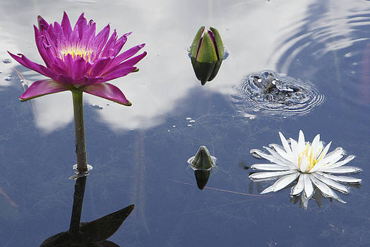 Water Lily 5 by Michael Rudolf