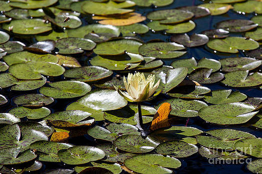 John Daly - Water Lily and Bees