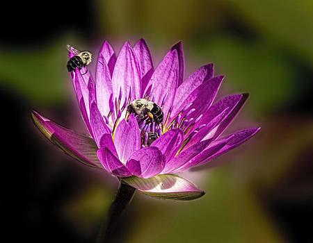 Terry Shoemaker - Water Lily and Bumble Bees