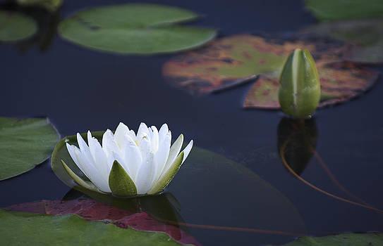 Bill Chambers - Water Lily
