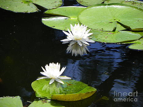 Water Lily by Carolyn Bistline