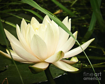 Water Lily by Emily Kelley
