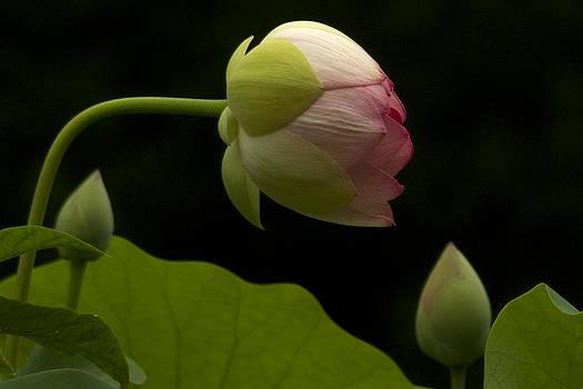 Guy Shultz - Water Lily