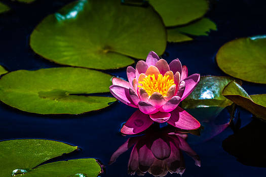 Water Lily by Howard Weitzel