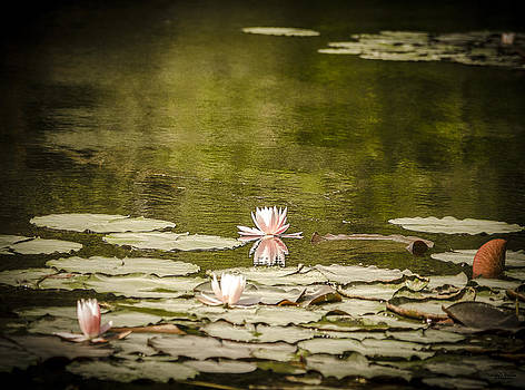 Water Lily in Bloom by Shirley Tinkham