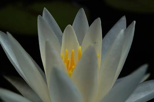 Water Lily by Julie Grandfield