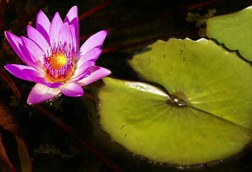 Water Lily by Kelly D Photography