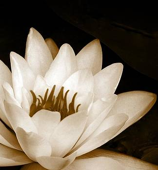 Water Lily by Kerry Hauser