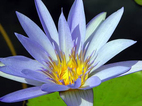 Ramunas Bruzas - Water-Lily