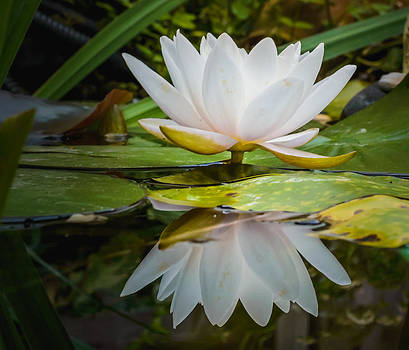 Water-lily reflection by Yvon van der Wijk