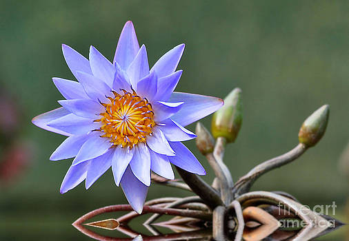 Water Lily Reflections by Kathy Baccari