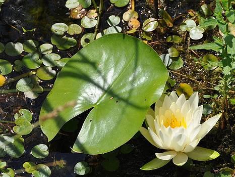 Valerie Kirkwood - Water Lily