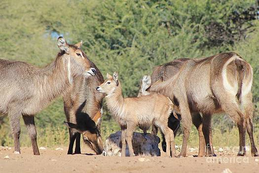 Hermanus A Alberts - Waterbuck Adorable Antics