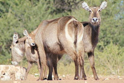 Hermanus A Alberts - Waterbuck Affection