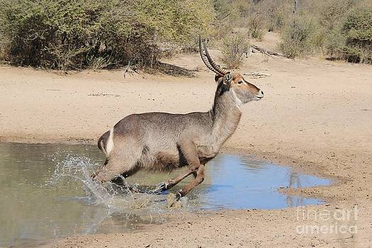 Hermanus A Alberts - Waterbuck Bull Escape