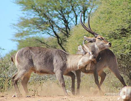 Hermanus A Alberts - Waterbuck Bull Power