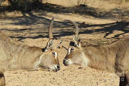 Hermanus A Alberts - Waterbuck Dominance