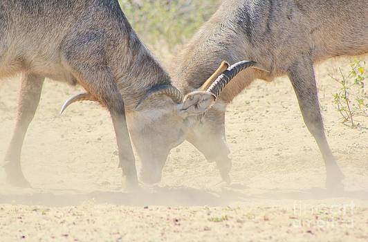 Hermanus A Alberts - Waterbuck Intimidation