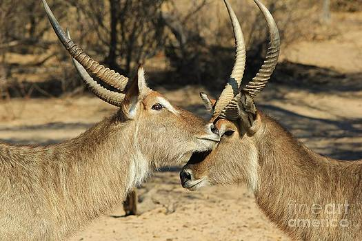 Hermanus A Alberts - Waterbuck Love and War