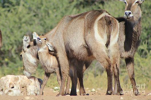 Hermanus A Alberts - Waterbuck Love