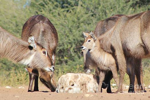 Hermanus A Alberts - Waterbuck New Life