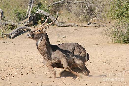 Hermanus A Alberts - Waterbuck Run