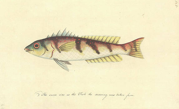 Watercolour 63 Of The Watling Collection by Natural History Museum, London