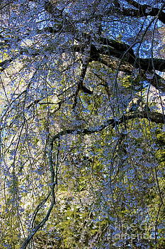 Amazing Jules - Waterfall of Flowers