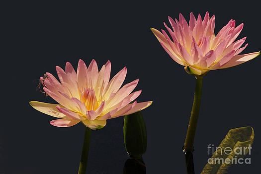 Byron Varvarigos - Waterlilies And Damselflies