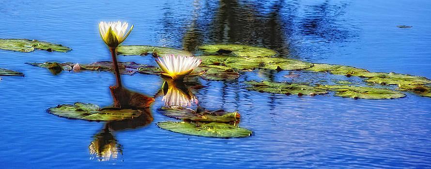 Waterlilies by Carol Kinkead