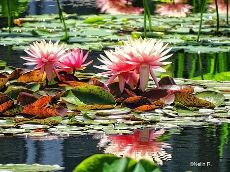 Waterlily 5 by Nelin Reisman