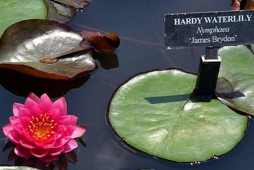 Waterlily Nymphaea by Wanda J King