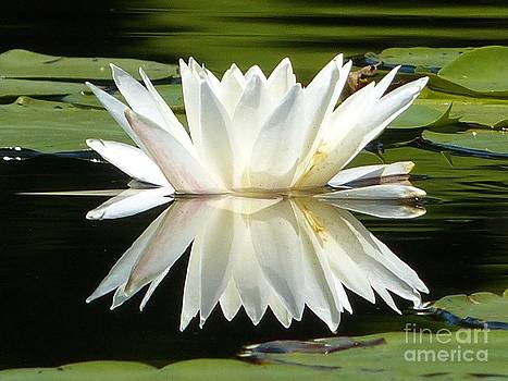 Christine Stack - Waterlily Reflection