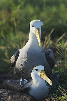 Waved albatross mate in Galapagos by Richard Berry