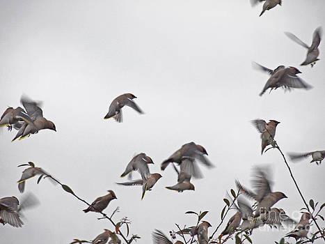 Waxwing Flock by Elizabeth Debenham