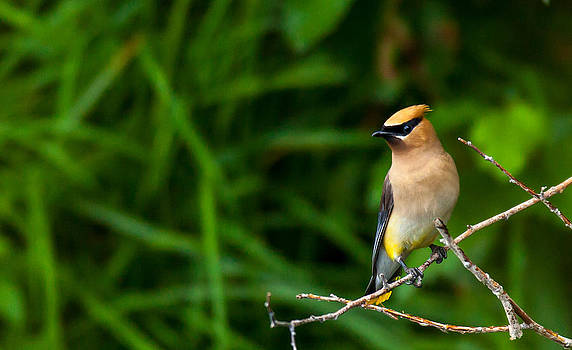 Kevin  Dietrich - Waxwing