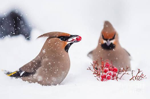 Waxwings in snowfall by Mikko Karjalainen