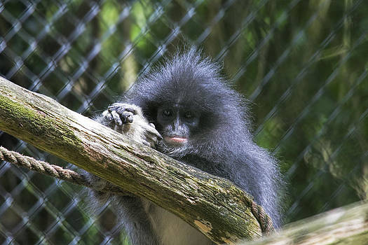 Stephen Barrie - We are all Connected.   Grizzled Leaf Monkey