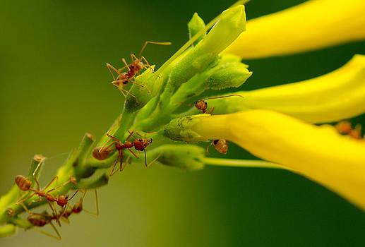 Weaver ants by Farah Faizal