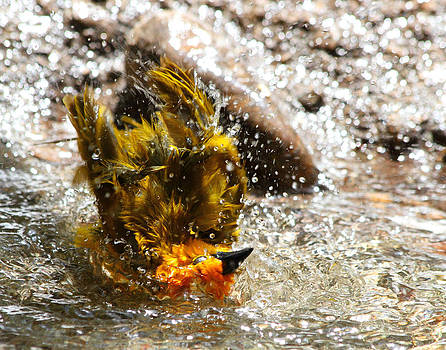 Weaver bird taking a bath by Old Pueblo Photography