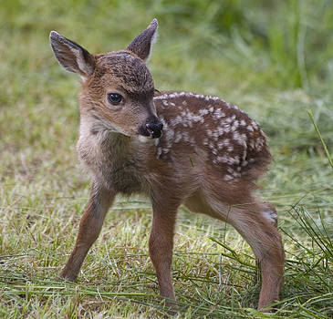 Wee Little Bambi by Tracey Levine