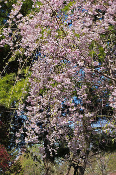 Weeping Cherry Tree by Julie Andel