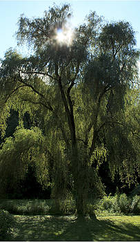 Weeping Willow by Barbara Giordano