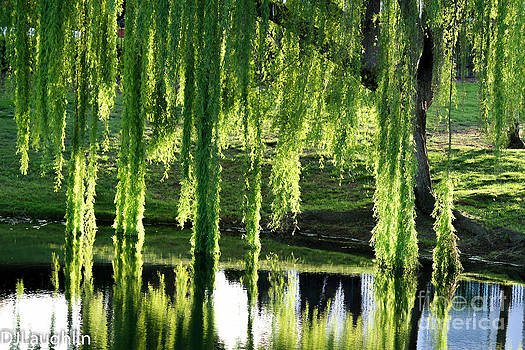 Weeping willow tree reflections by DJ Laughlin
